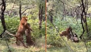 Two Tiger Brothers Fight Over A Tigress - Sakshi