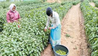Mirchi crop which gives profits from the last 50 years - Sakshi