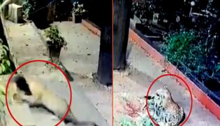 Leopard Attacks Stray Dog In Andheri - Sakshi
