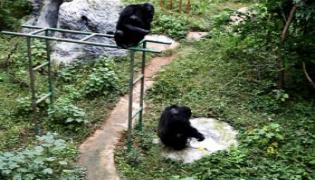 Clever Chimpanzee Washes Clothes at Chinese Zoo - Sakshi