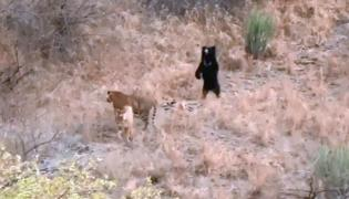 Sloth Bear Chases Away 2 Tigers At Ranthambore National park - Sakshi