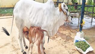 National Kamdhenu Breeding Center Special Story In Nellore - Sakshi