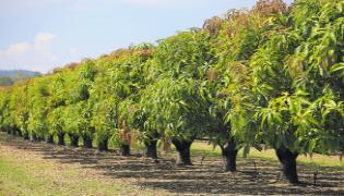 Mango farmers in the state is in trouble - Sakshi