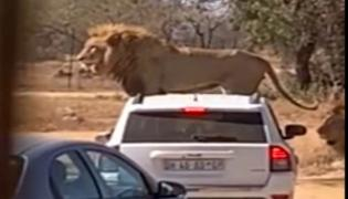 Lion Climbs On Top Of Car At Safari Park Goes Viral - Sakshi