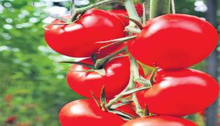 Importance Of Tomato In Everyones Life - Sakshi
