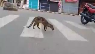 Malabar Civet Walks On Kerala Road In Lockdown Time