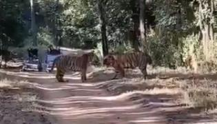 Tigers Fight For Territory In Central India - Sakshi