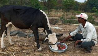 Corona Effect Maharashtra Farmers Feed Strawberries To Cow - Sakshi