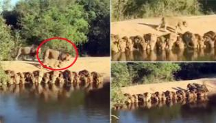Sudha Ramen Shares Video Group Of Lions Drink Water Together - Sakshi
