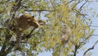 Leopard Trying To Eat Monkey On Tree BranchesLeopard Trying To Eat Monkey On Tree Branches - Sakshi