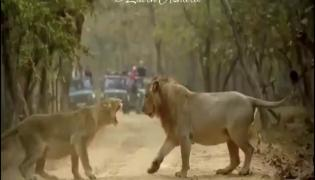 Fight Between Lion, Lioness Gives Best Husband Wife Jokes Video Gone Viral