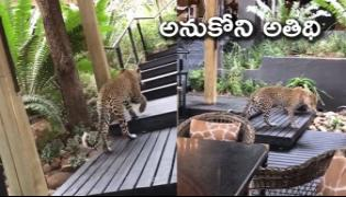 Viral Video: Leopard Strolls Inside Restaurant In South African - Sakshi