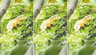 Viral Video Of Tiger In Ambagatta Forest Its A Fake One Says Officials - Sakshi