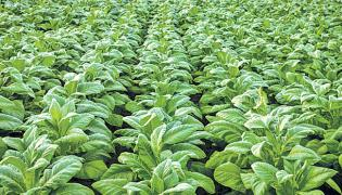 Doctor Yalamanchili Shivaji Article On Crop Holiday - Sakshi