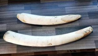 Police Caught Elephants Teeth Buying Group - Sakshi