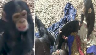 Two Young Chimpanzees Play Fighting Video Goes Viral - Sakshi
