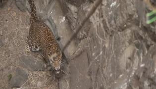 Snake Catcher Team Rescue the cheeta