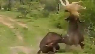 Lion Tries To Hunt Buffalo But Gets A Dhobhipachhad From His Friend - Sakshi