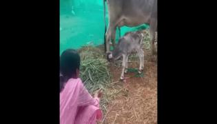 Anchor Suma Trolled For Cow Video