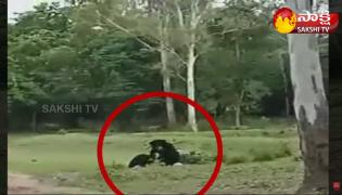 Viral Video: Bears Plays With Football