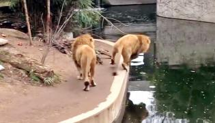 Old Viral Video A Lion Accidentally Fallen Into Water Hole - Sakshi