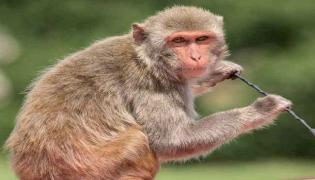 Monkey Travelled 22 KMS To Take Revenge On A Man In Karnataka - Sakshi