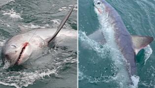 Fisherman Reels In Record Breaking 7 Foot Shark 250 Kg Goes Viral - Sakshi