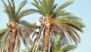 Sagubadi Special Palm Neera And Palm Products And Cultivation - Sakshi