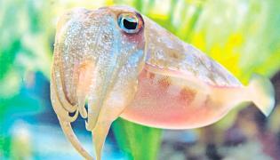 Cuttlefish Has Better Memory Than Humans - Sakshi