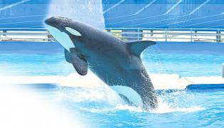 Heartbreaking Video Of  Worlds Loneliest Whale Named Kiska Attempts Suicide After 40 Years Of Imprisonment - Sakshi
