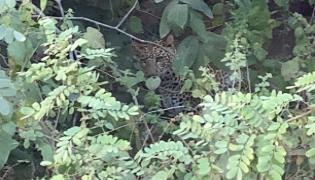Leopard Wandering In Nizamsagar Tourists Threatened - Sakshi