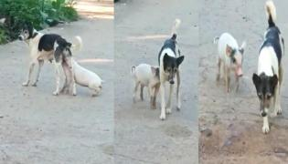 Viral Video : Small Pig Feed On Milk From Dog