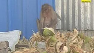 Monkey To Peel Fibrous Part Of Coconut Viral Video