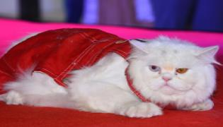 Cat Fashion Show - Sakshi
