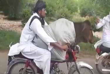 Pakistani Man Drives Bike With Cow - Sakshi
