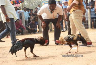 Cock Fighting In Sankranti Festival Celebrations In Andhra Pradesh - Sakshi