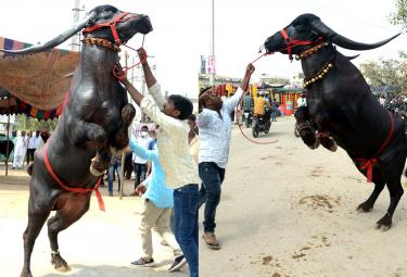 Animal Fest Pashu Sankranthi in Narsingi at Hyderabad - Sakshi