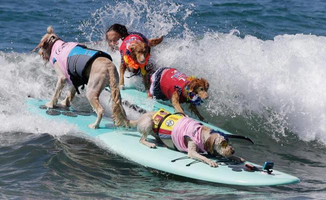 dogs Surf Competition - Sakshi