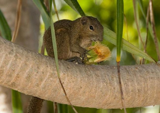 World's smallest squirrel discovered in Indonesia
