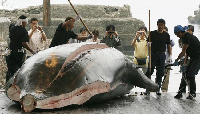 Japan slaughters about hundreds of whales