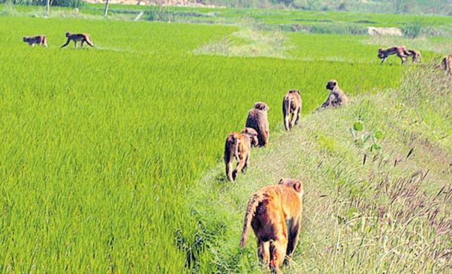 Monkeys attack on the crop - Sakshi