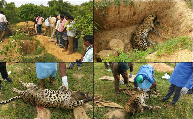 dead leopard found by forest personals in Chittoor forest - Sakshi