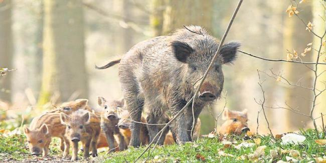Wild pigs and monkeys to get sick?