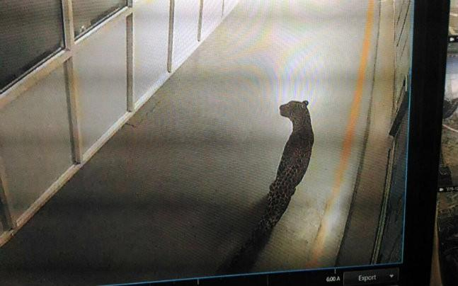 Leopard enters Maruti Suzuki plant