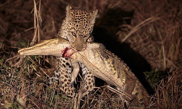 African Leopard Kills and eats Two Metre Crocodile - Sakshi