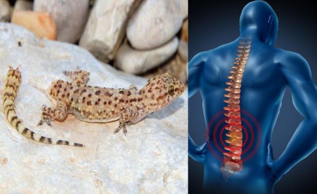 geckos tail cells can help repair human spinal injuries - Sakshi