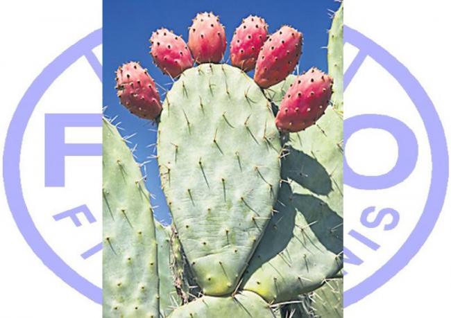 """Time to Put Cactus on the Menu"": FAO's Advice on Food Security - Sakshi"