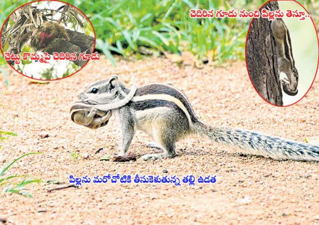 Squirrel love on her baby pics in ou campus  - Sakshi