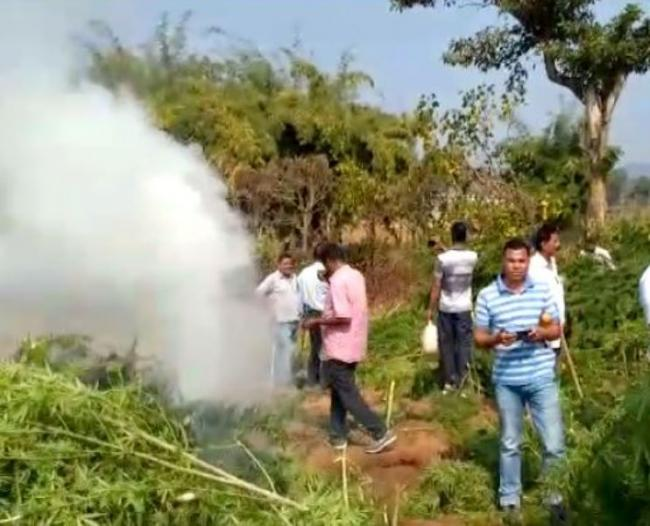 ganja crop worth rs,7 cr destroyed - Sakshi