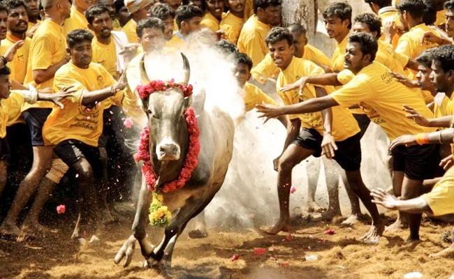 jallikattu started in tamilnadu - Sakshi